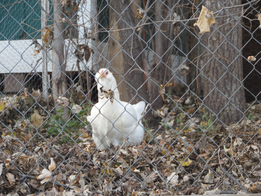 New Chicken Code May Get City Clucking Again