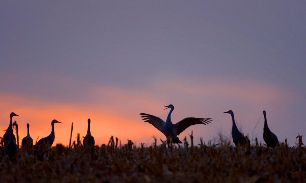 Outdoor notes: First sandhill cranes arrive in Nebraska for 'a little homecoming party'