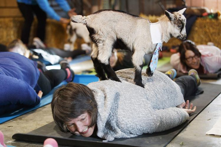 Back by popular demand, Omaha-area yogis can practice alongside baby goats
