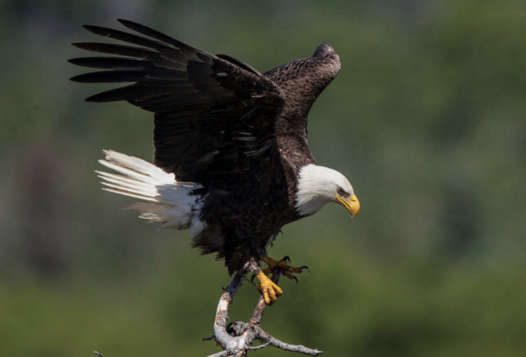 Man Sentenced For Role In Killing A Bald Eagle