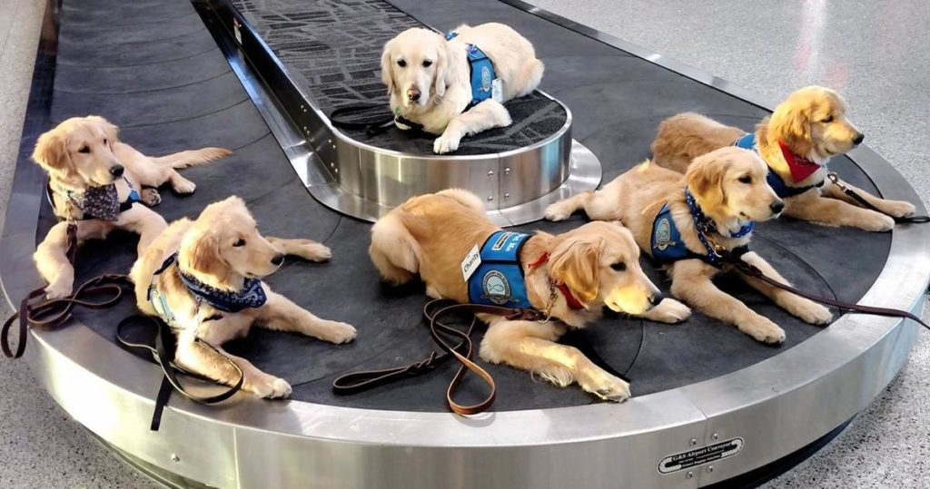 Nebraska group awaits gaggle of golden retriever puppies to train as comfort dogs