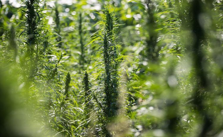 Legislature advances bill to let hemp be grown in Nebraska again