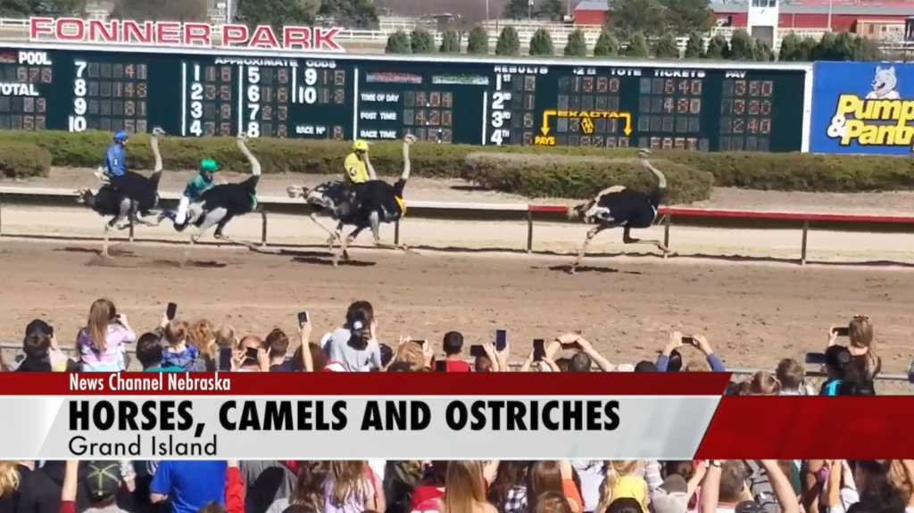 Massive crowd fills Fonner Park to see camels and ostriches race