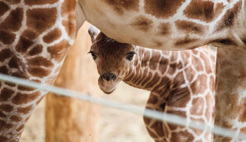 Omaha zoo names giraffe after an 8-year-old girl who died days after the animal's birth
