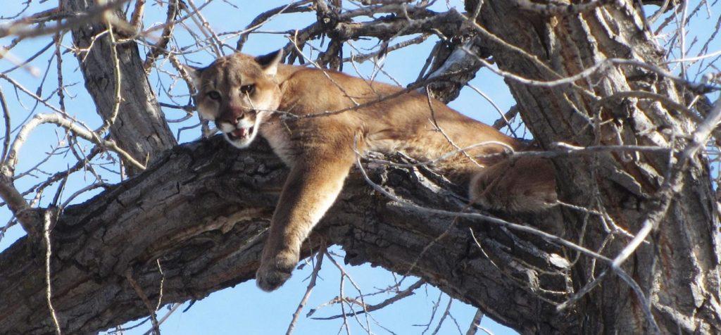 Mountain lion hunting season planned for 2020 in northwest Nebraska