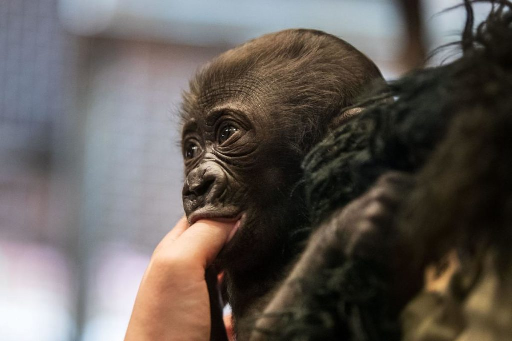 Baby gorilla makes her debut in the Henry Doorly Zoo nursery