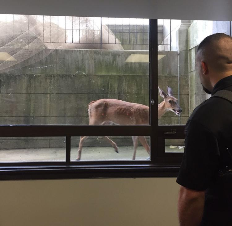 'No happy endings': A deer crashes the morning docket at the Douglas County Courthouse