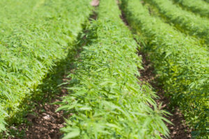 Hemp Farming Ready to Take Off in Nebraska - If Farmers Can Get Licensing in Time
