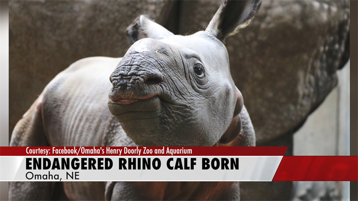Zoo announces historic birth of endangered Indian Rhino calf