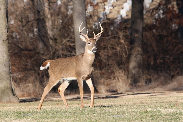 Motorists Urged to Use Caution as Deer Activity Increases