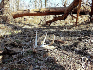 Nebraska Game and Parks: Think Like a Buck to Find Shed Deer Antlers