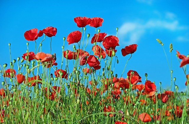 National Poppy Day on May 22
