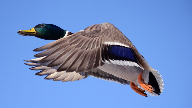 Duck Hunters Must Choose From Two Bag Limits When They Register For HIP